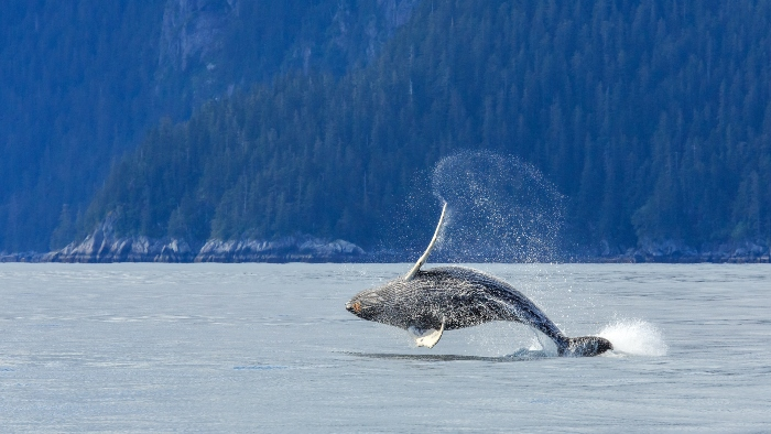 alaska whale watching cruise