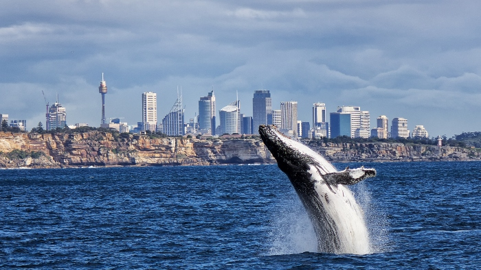 australia whale watching cruise