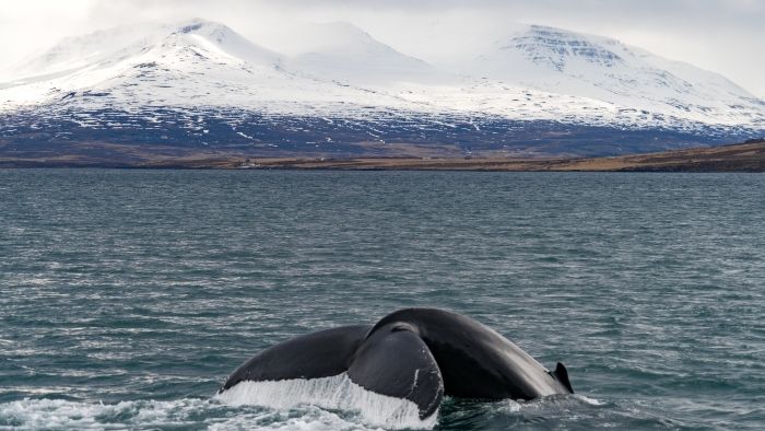iceland whale watching cruise